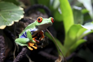 A Red-Eyed Tree Frog (Agalychnis callidryas) sitting along a vine with green plants in the background